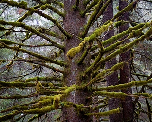 Alaskan Moss Covered Tree