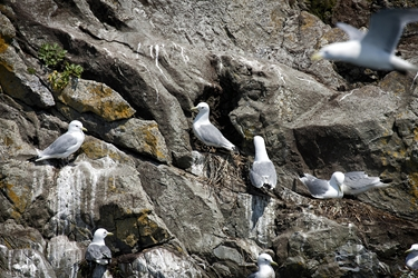 A few Kittiwakes