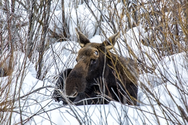 Colorado Bull Moose Lying in the Snow