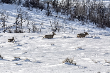 Deer Family in the Snow