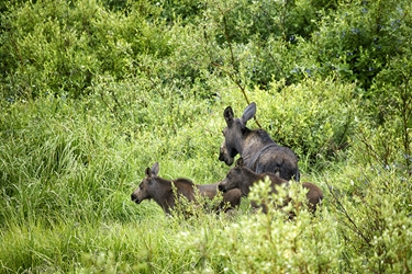 Momma Moose and Twin Calves Looking for Dinner