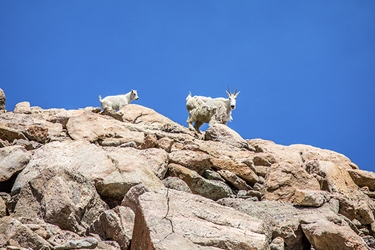 Baby Mountain Goat Chasing Mom on the Mountaintop