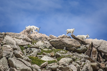 White Mountain Goat Baby Playing on the Edge of Mt. Evans