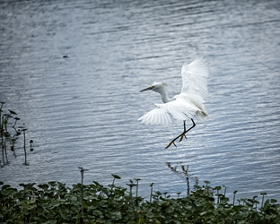 Egret Coming in for Water Landing
