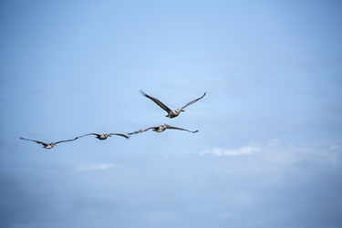 Four Brown Pelicans in Formation