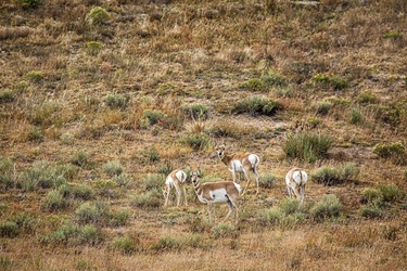 Pronghorn Antelope Eyes and Butts