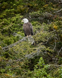 Bald Eagle Watchful Eyes