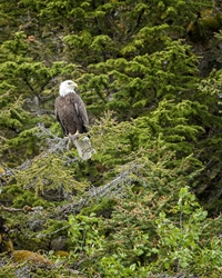 Bald Eagle Watchful Eyes 2