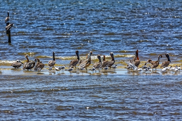 Brown Pelicans on a Sandbar