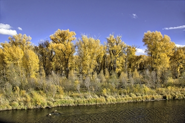 Gunnison Cottonwoods in Fall Color