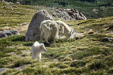Adult and Juvenile White Mountain Goats Grazing on Mt. Evans, Colorado