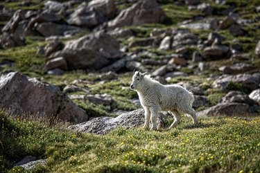 Juvenile White Mountain Goat on Mt. Evans, Colorado